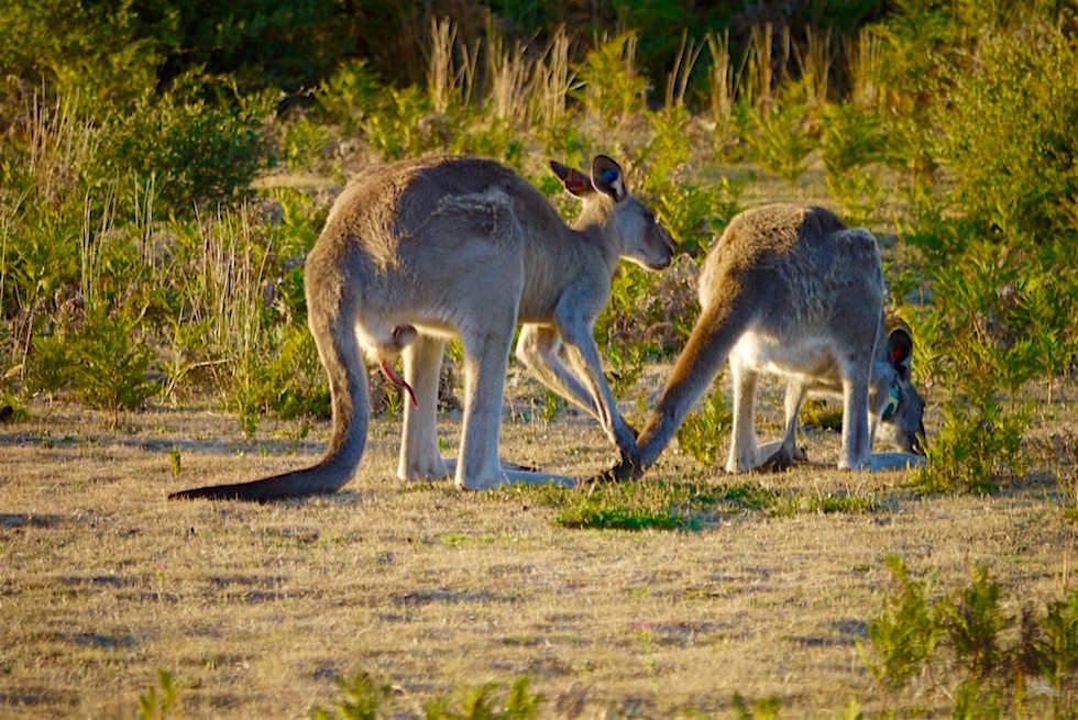Känguru Wildlife Area - Wilsons Prom - Victoria
