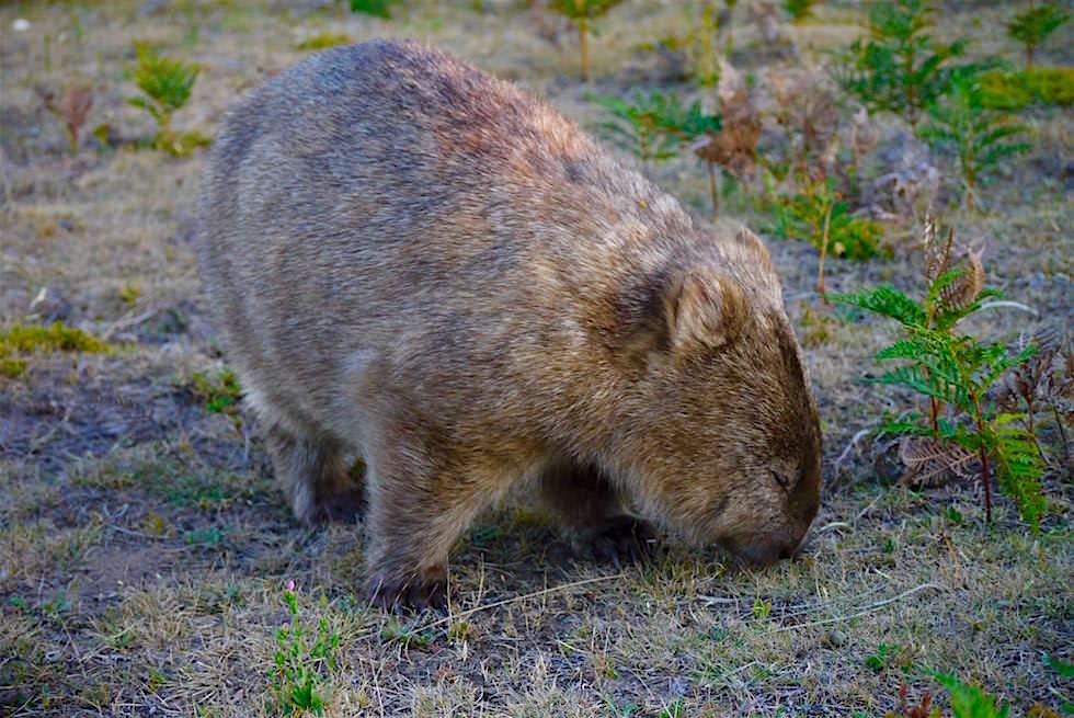 Wombat Wildlife Area - Wilsons Prom - Victoria