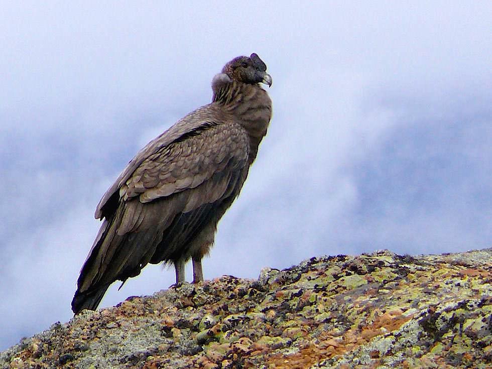 Andenkondor - Torres del Paine Nationalpark - Patagonien, Süd-Chile