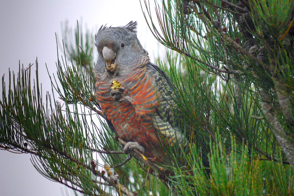 Helmkakadu oder Gang-Gang Cockatoo - Grampians National Park - Victoria