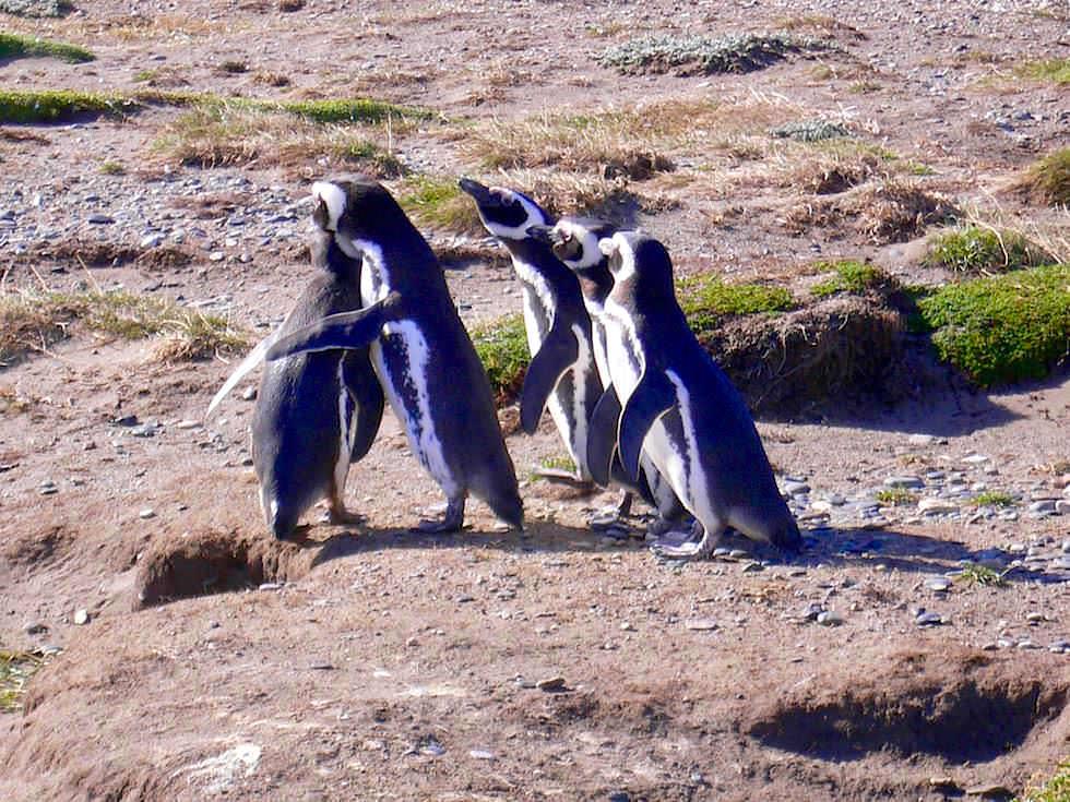 Brutlöcher Magellan Pinguine - Pazifik - Chile Patagonien