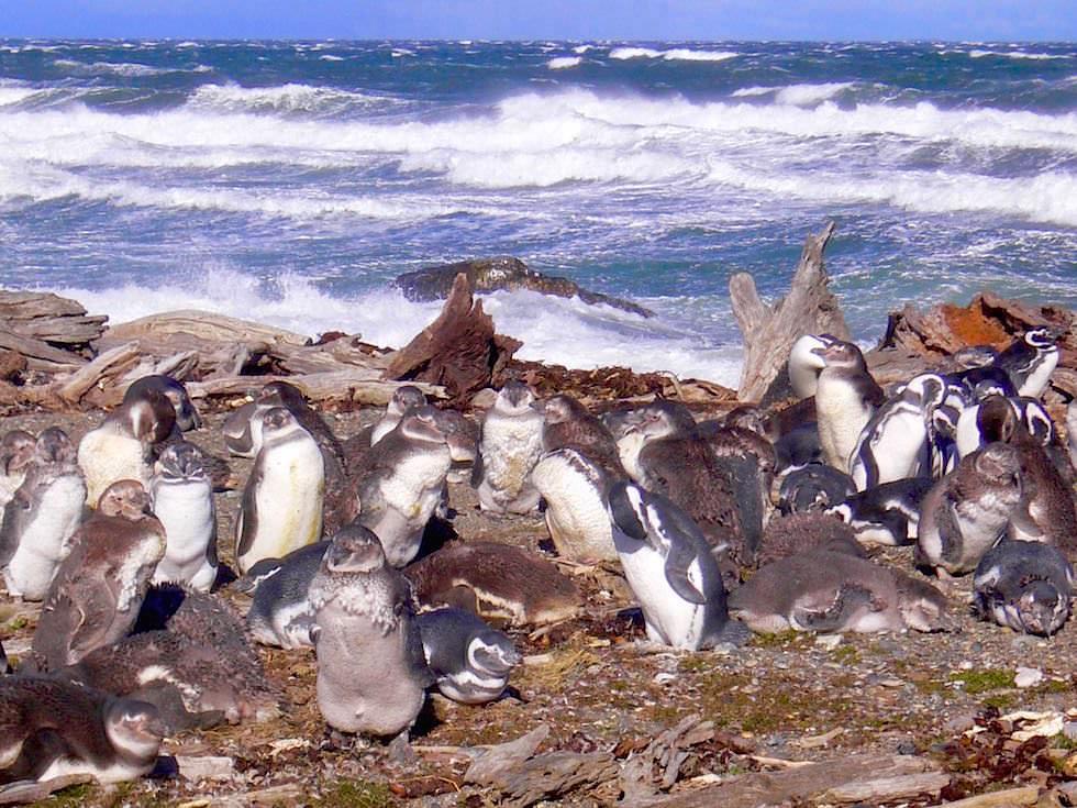 Magellan Pinguine Jungtiere - Pazifik - Chile Patagonien