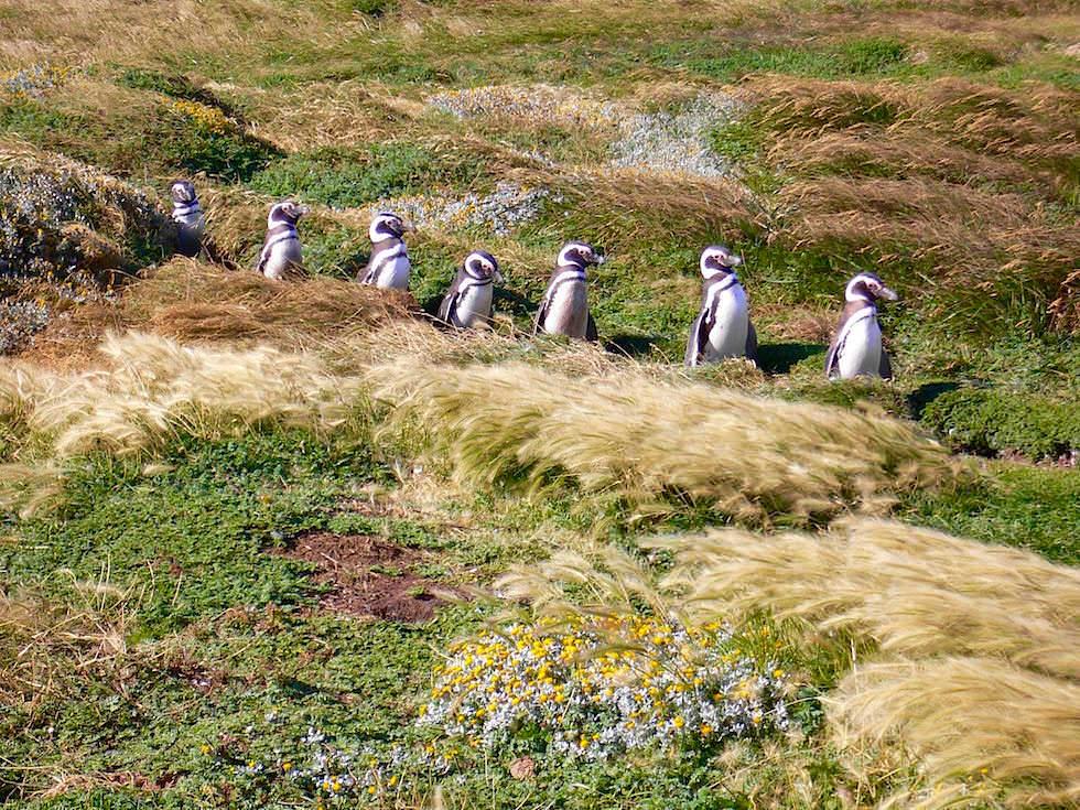Magellan Pinguine an der Pazifik Küste nahe Punta Arenas- Chile Patagonien