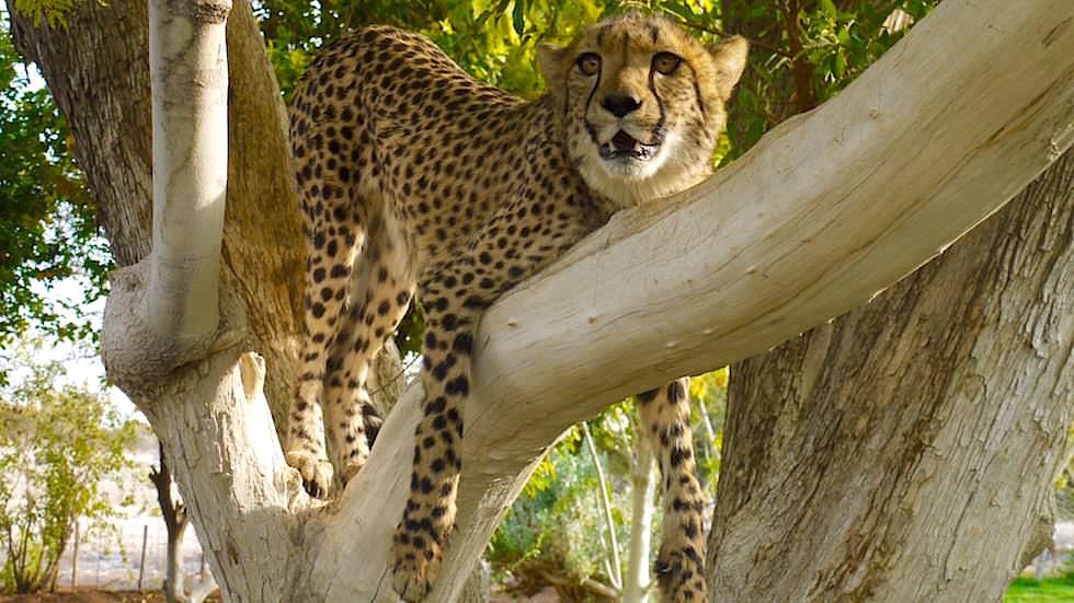 Otjitotongwe Cheetah Park - Namibia Afrika