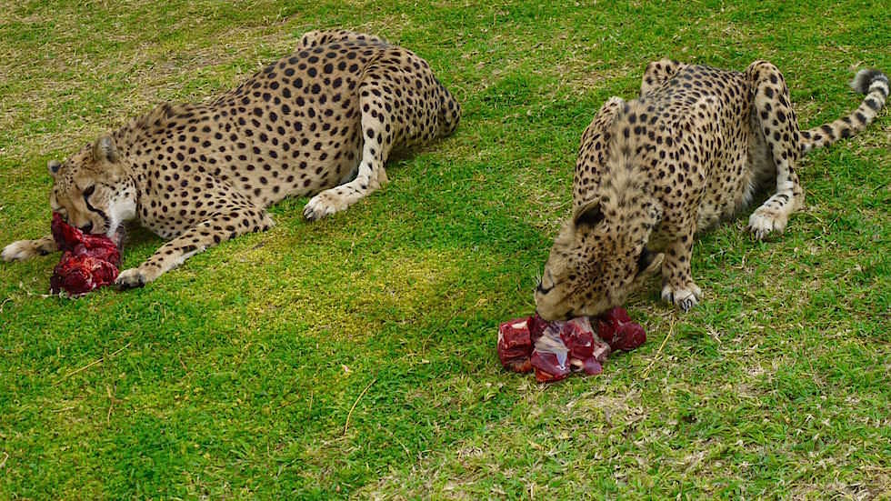 Geparden Fütterung Otjitotongwe Cheetah Park - Namibia Afrika