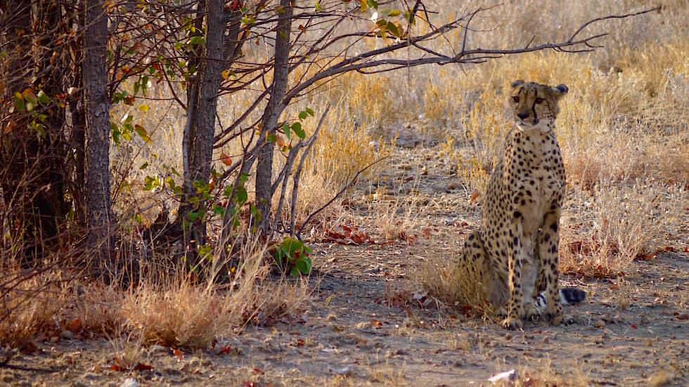 Otjitotongwe Cheetah Park Geparden Gehege - Namibia Afrika