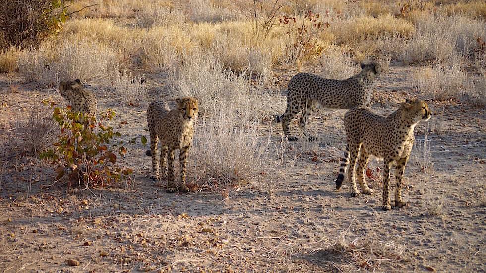 Geparden Namibia