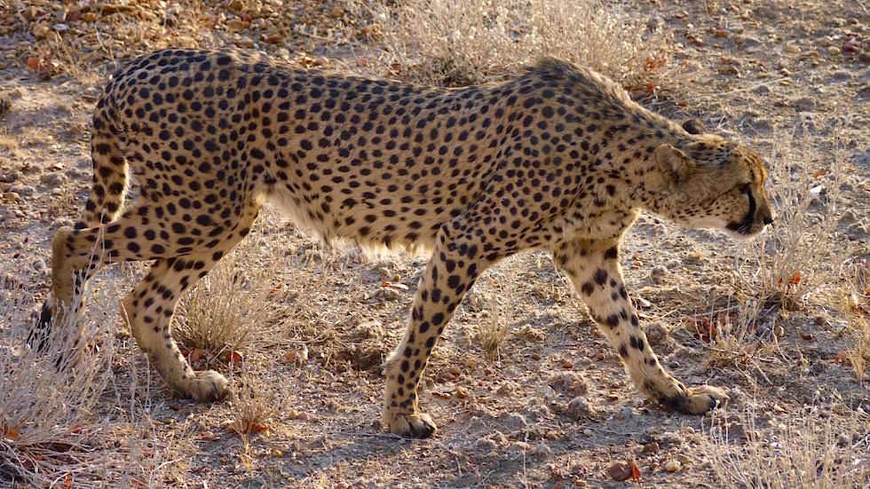 Geparden Schutzprojekte Namibia