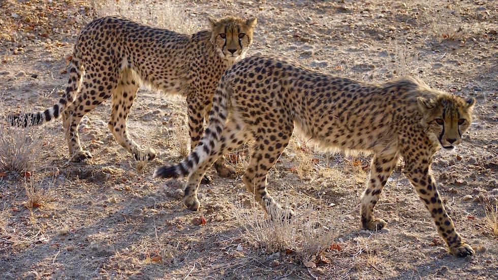 Geparden Otjitotongwe Cheetah Park - Namibia Afrika