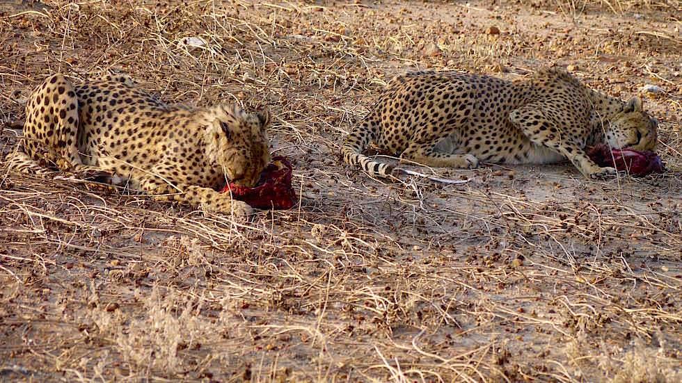 Geparden Farmen und Schutzprojekte in Namibia Afrika