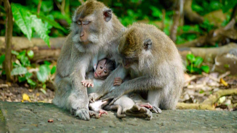 Affen Verwöhnprogramm im Monkey Forest bei Ubud Bali