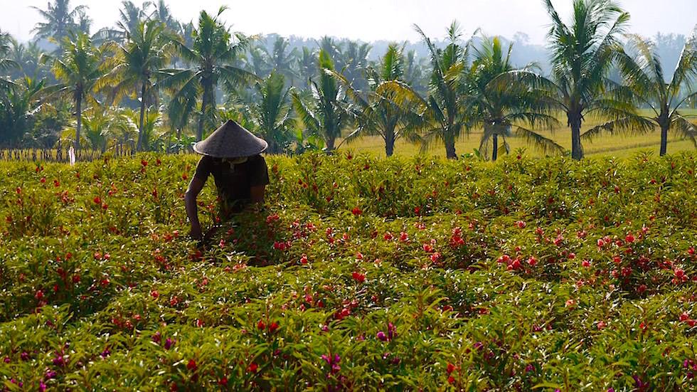 Fotoessay: Blumenernte Bali
