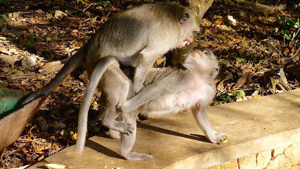 Affen Liebe Uluwatu Tempel - Bali