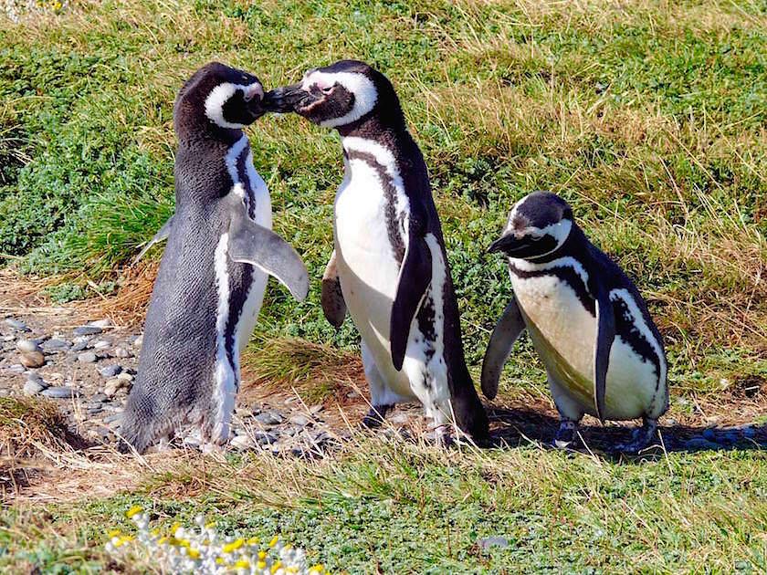 Magellan Pinguine bei der Gefiederpflege - Pazifik - Chile Patagonien