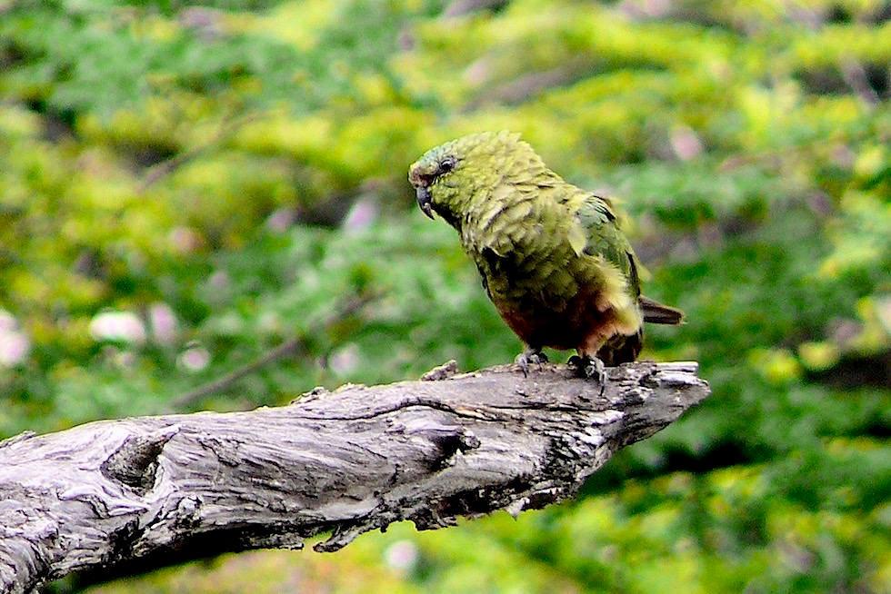Papagei Fitz Roy - Patagonien Argentinien