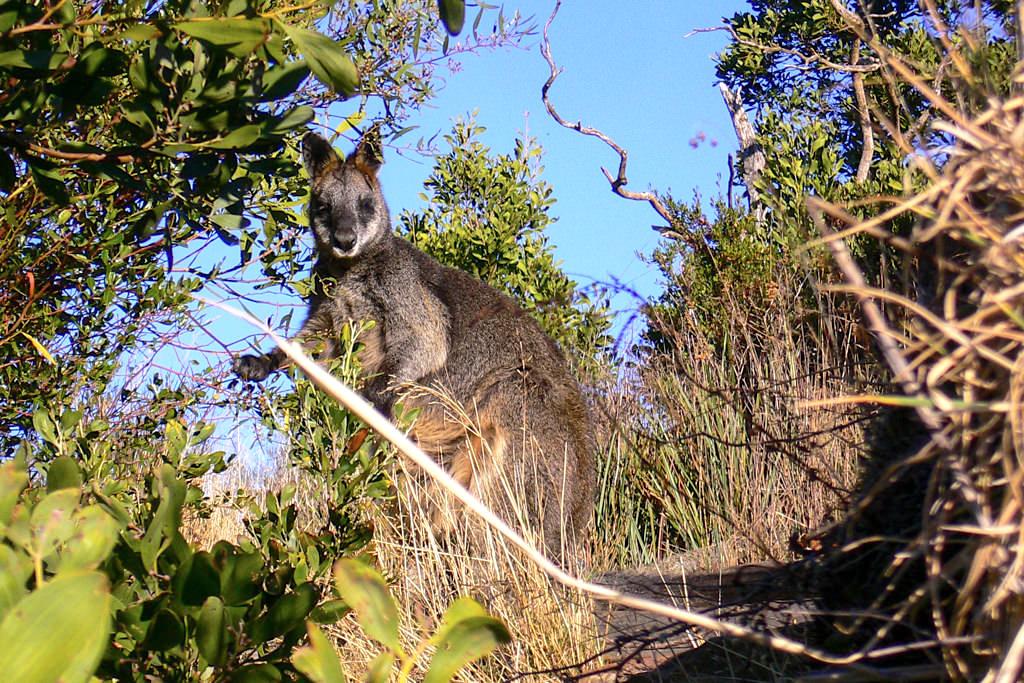 Wallaby im Grampians Nationalpark - Victoria - Australien