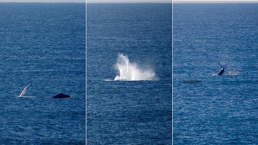 Buckelwale beim Headland bei Sawtell - New South Wales