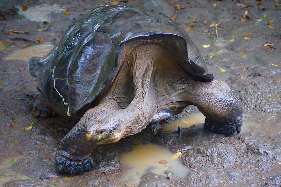 Riesenschildkröten Aufzuchtstation - Galapagos San Cristobal