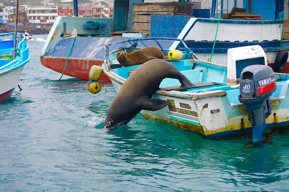 Seelöwen in Puerto Baquerizo Moreno - Galapagos San Cristobal