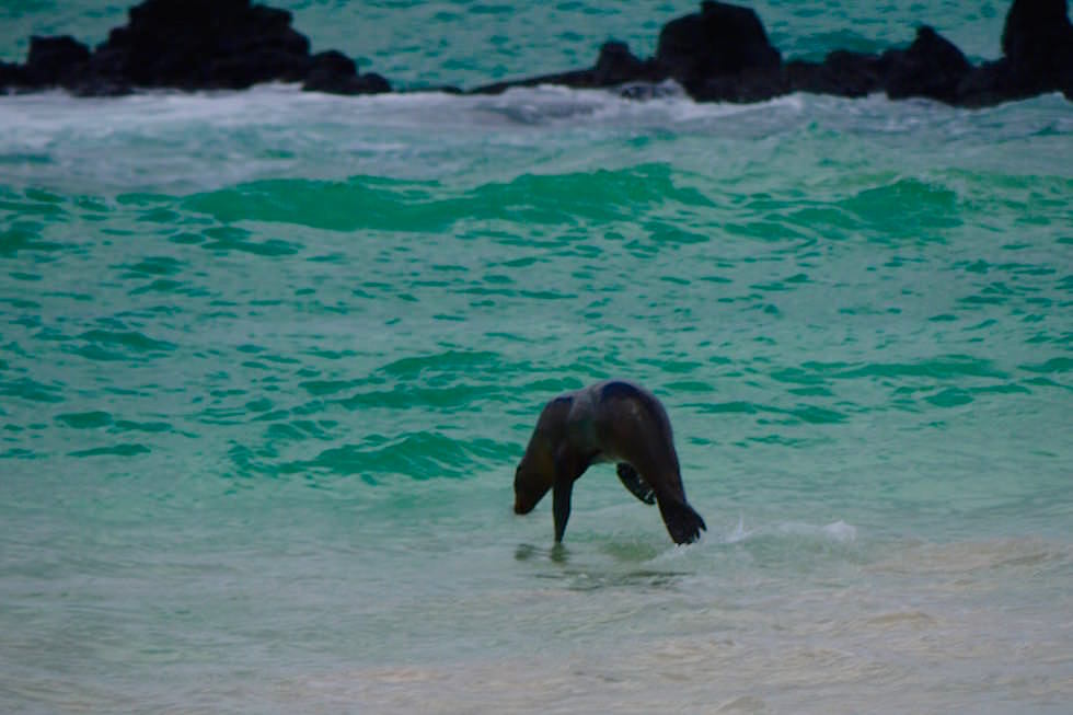 Seelöwe springt Cerro Brujo - Galapagos San Cristobal