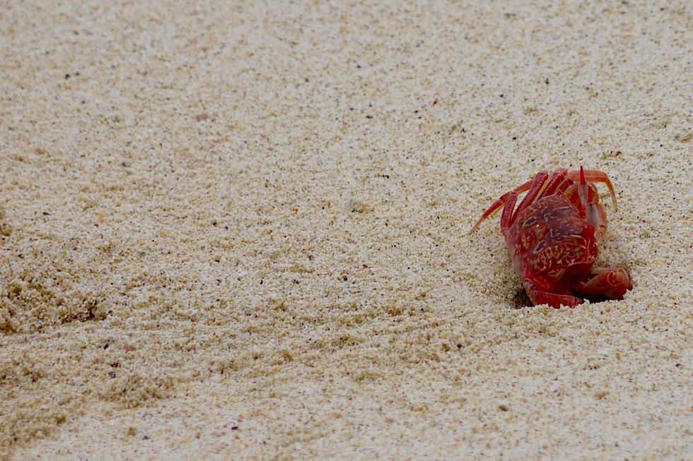 Rote Krabbe Cerro Brujo - Galapagos San Cristobal