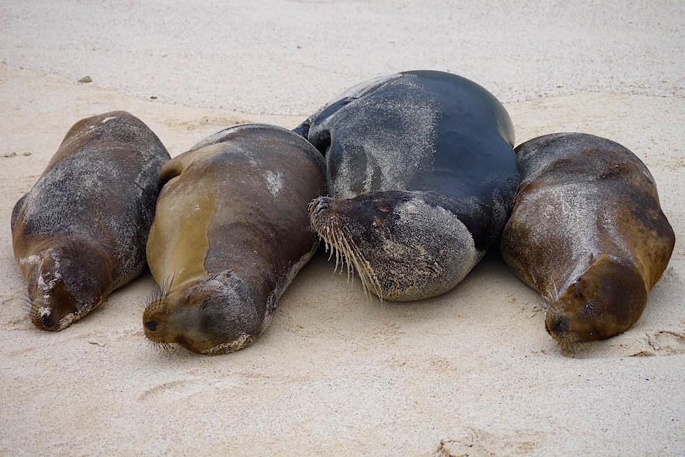 Seelöwen am Cerro Brujo Strand - Galapagos San Cristobal