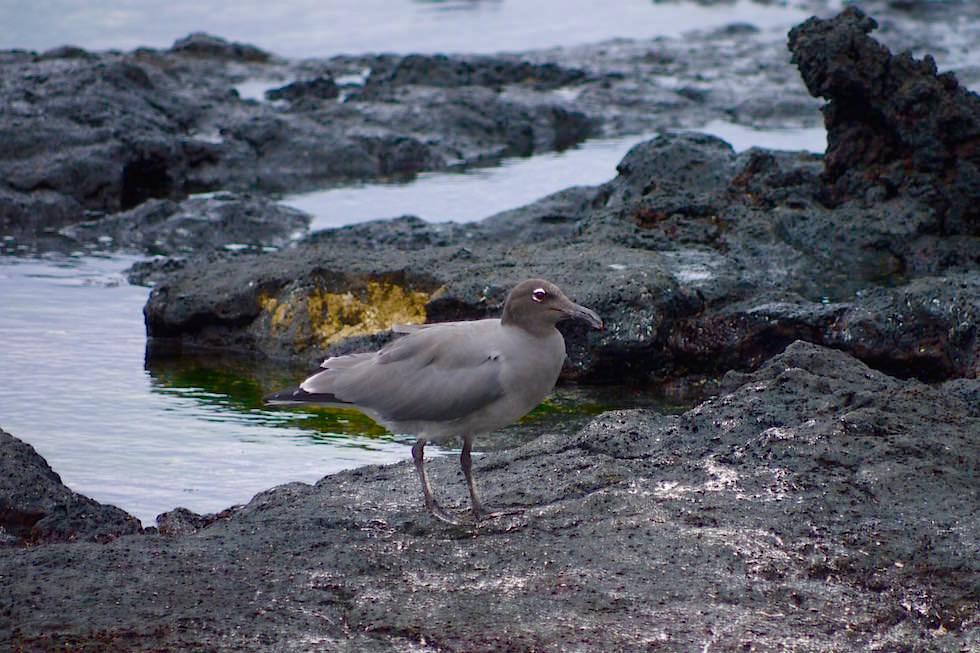 Möwe Cerro Brujo - Galapagos San Cristobal
