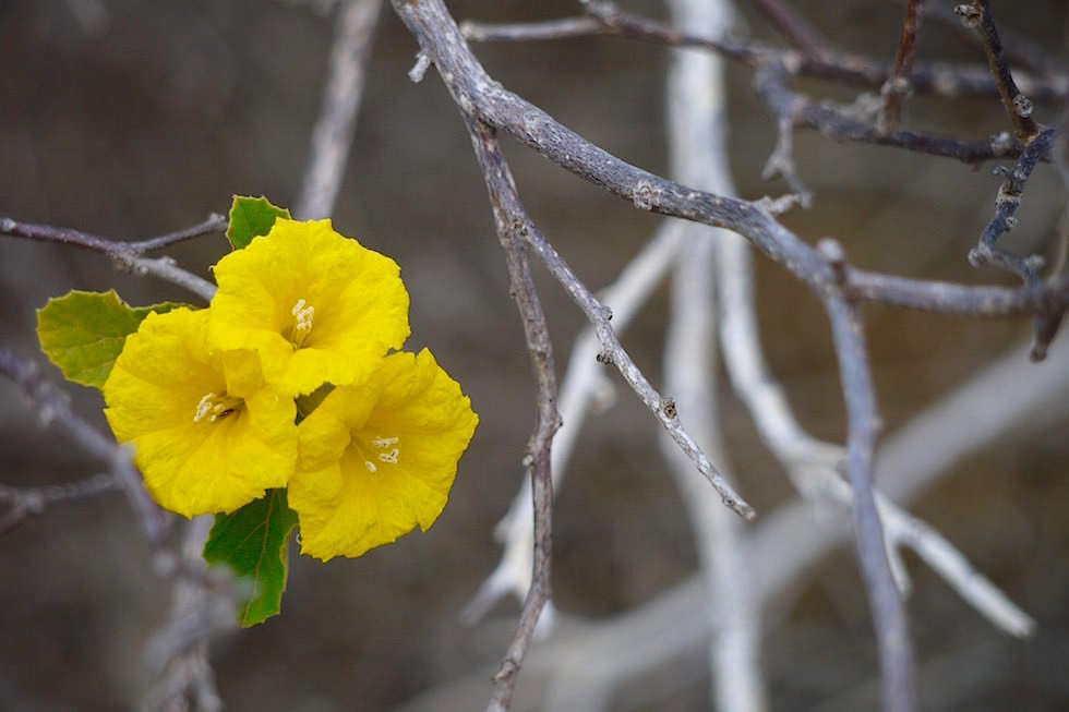 Blume & ausgetrockneter Busch Pitt Point San Cristobal - Galapagos