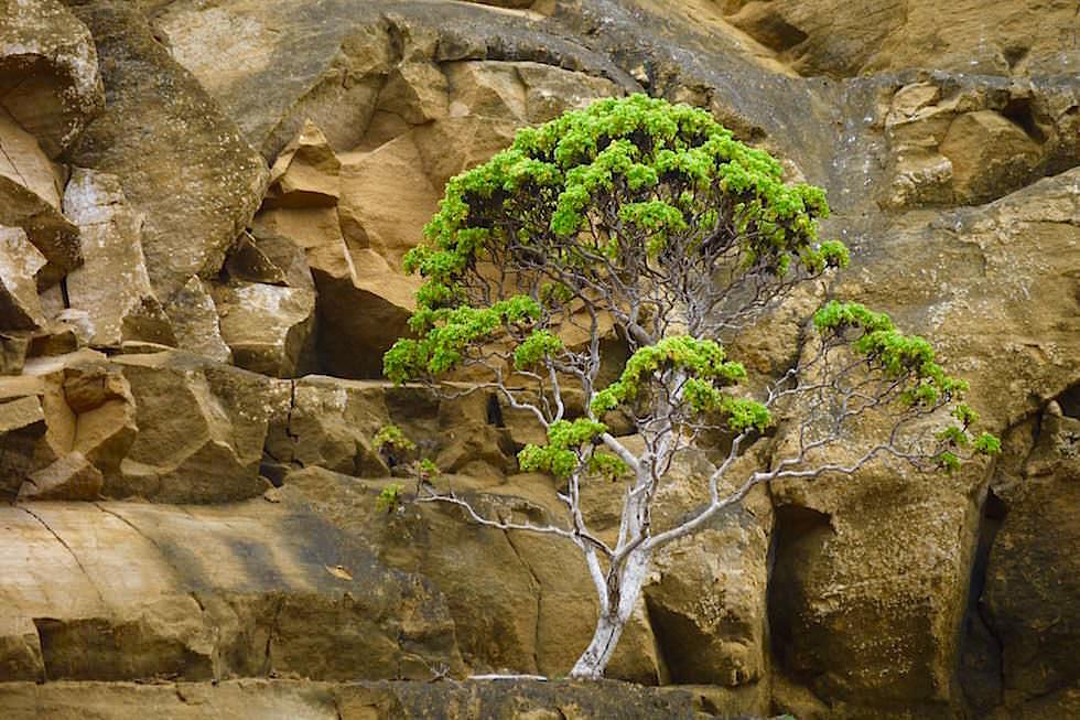 Steilwand mit Baum Punta Pitt - Pitt Point - San Cristobal - Galapagos