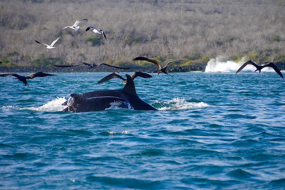 Orcas & Seemöwen an der Küste von San Cristobal - Galapagos