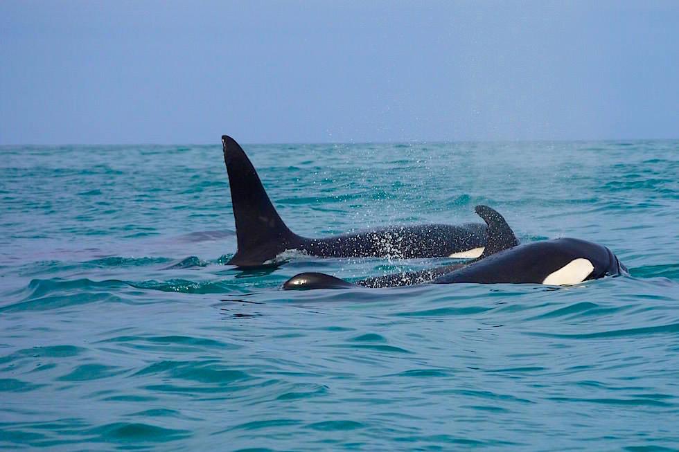 Orcas - Schwertwale an der Küste von San Cristobal - Galapagos