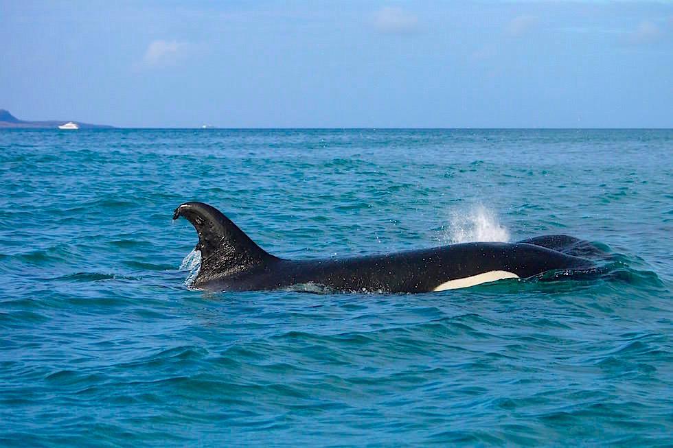Schwertwale keine Killerwale - San Cristobal - Galapagos