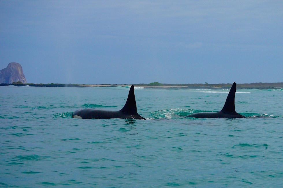 Orcas Schertwale am Kicker Rock San Cristobal - Galapagos