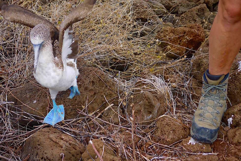 Füßevergleich - Blaufußtölpel Pitt Point San Cristobal - Galapagos