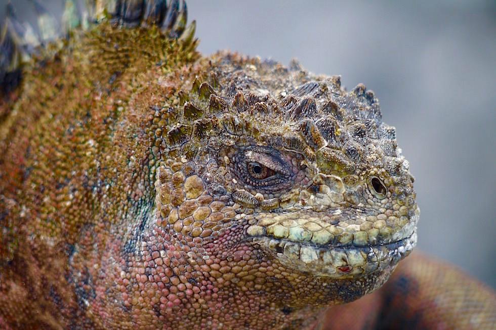 Meerechse Gesicht Nahaufnahme Pitt Point San Cristobal - Galapagos