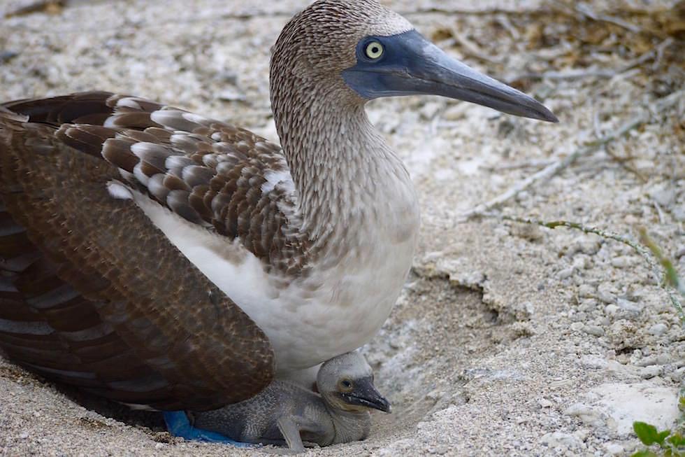 Blaufußtölpel Baby San Cristobal - Galapagos