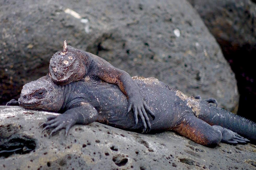 Meerechsen kuscheln Pitt Point San Cristobal - Galapagos