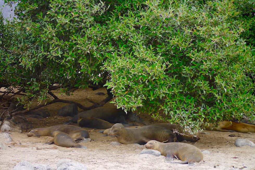 Seelöwen Pitt Point San Cristobal - Galapagos
