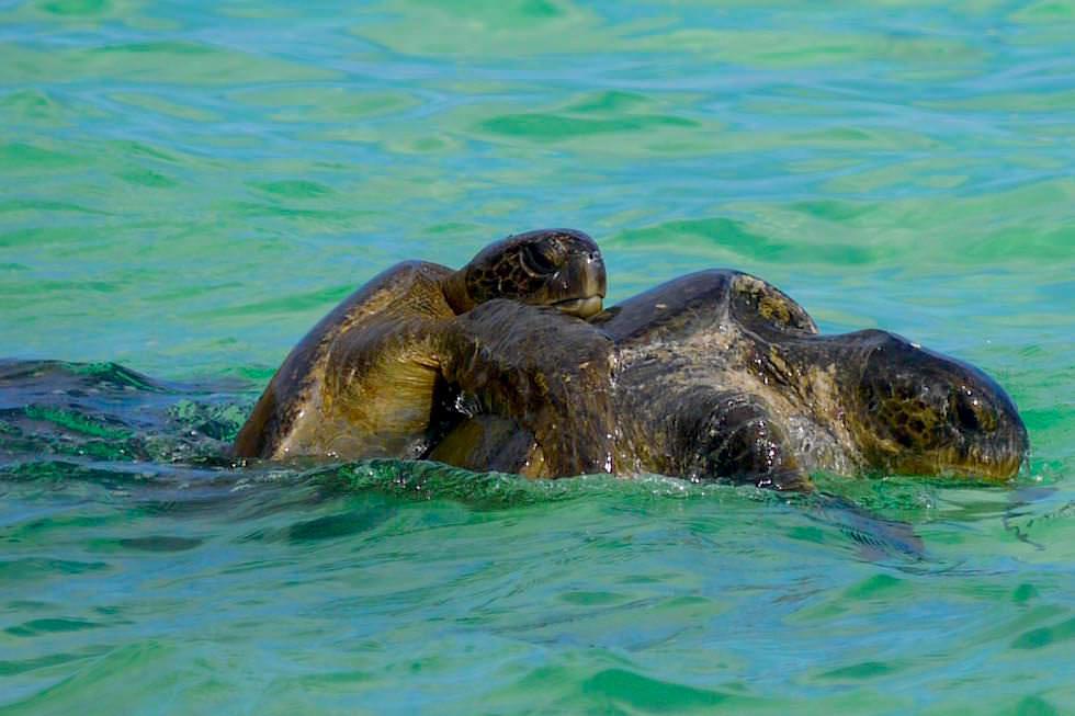 Paarung Meeresschildkröten Cormorant Point - Floreana - Galapagos