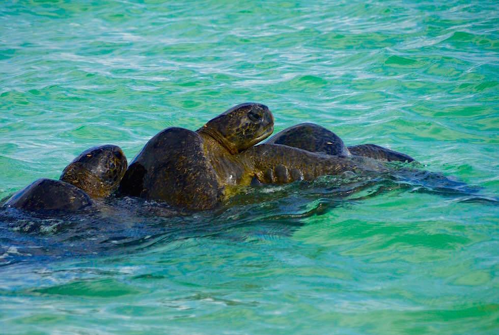 Meeresschildkröten paaren sich - Cormorant Point - Floreana - Galapagos