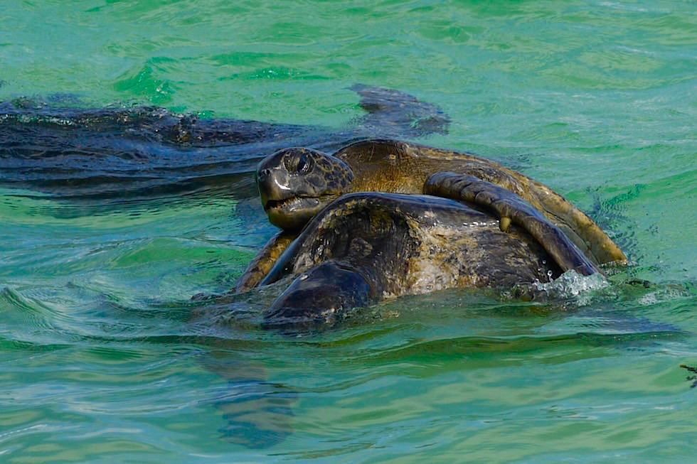 Paarung Meeresschildkröten in der Cormorant Point - Floreana - Galapagos