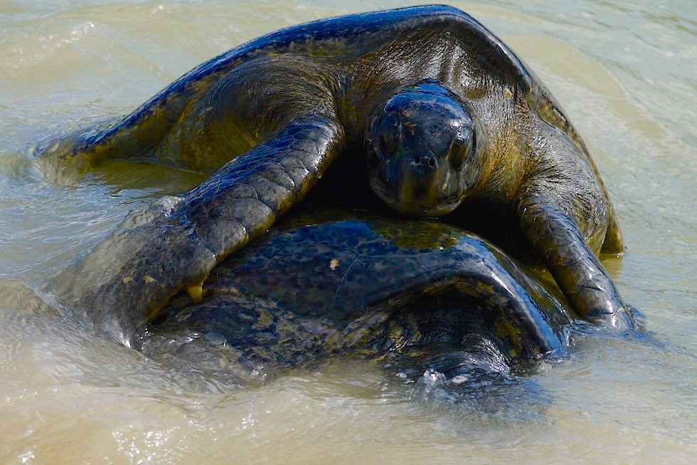 Schildkröten paaren sich - Cormorant Point - Floreana - Galapagos