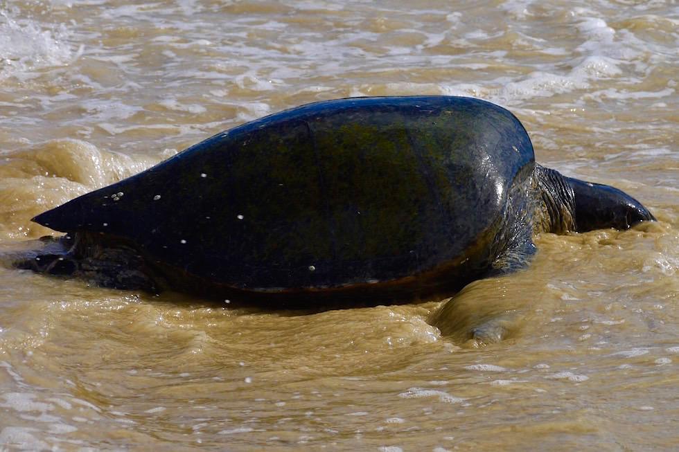Nach der Paarung - Schildkröten Cormorant Point - Floreana - Galapagos