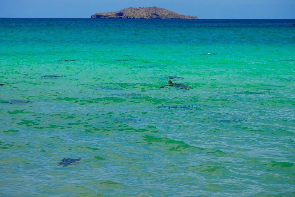 Meeresschildkröten Cormorant Point - Floreana - Galapagos