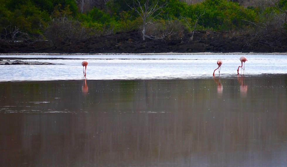 Flamingo Lagune Cormorant Point - Floreana - Galapagos
