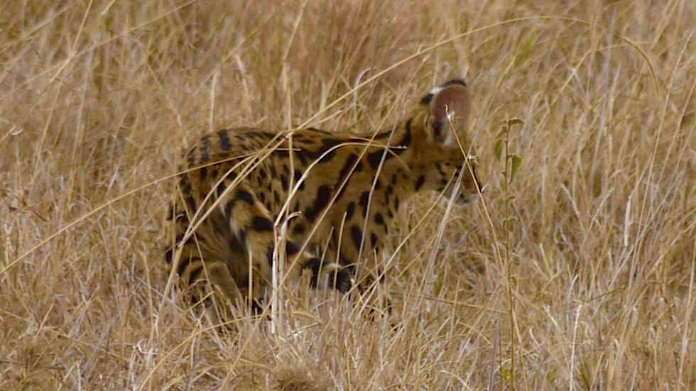 Serval Jungtier - Serengeti National Park - Tanzania