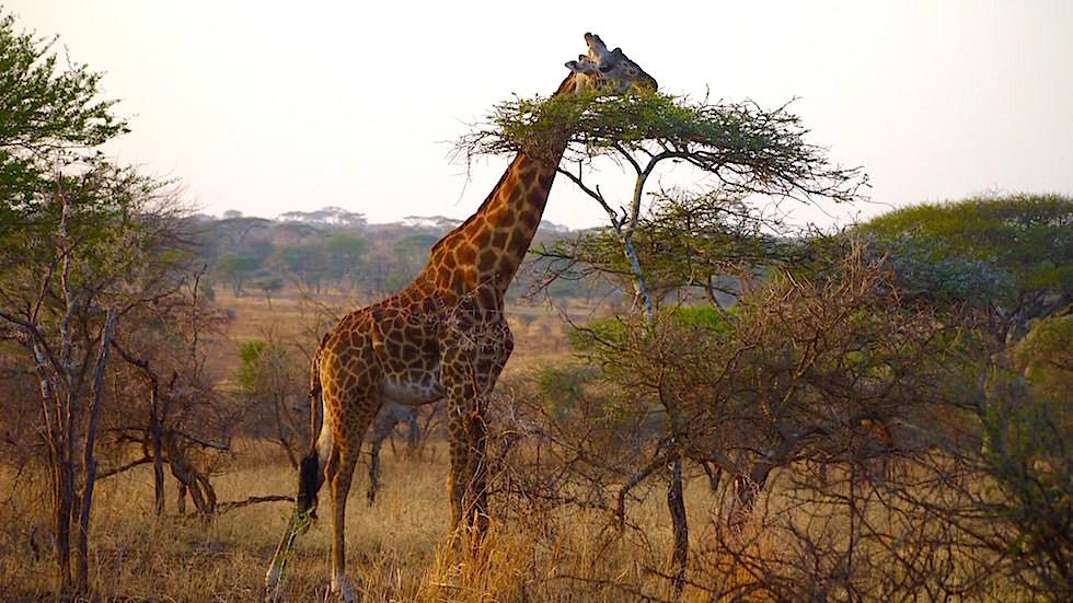 Giraffe - Serengeti National Park - Tanzania