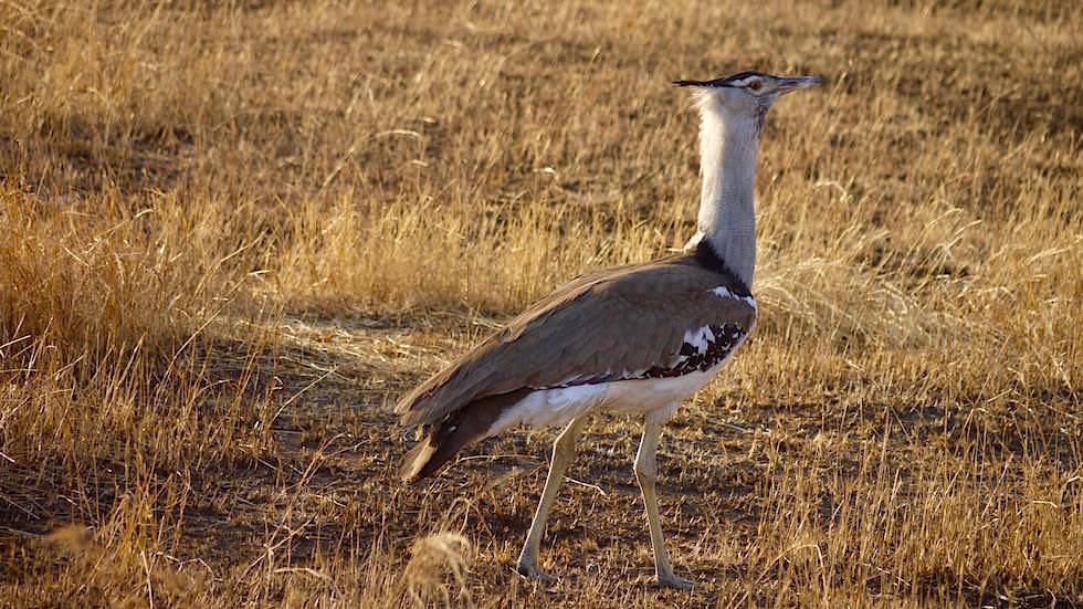 Kori Bastard - Serengeti National Park - Tanzania