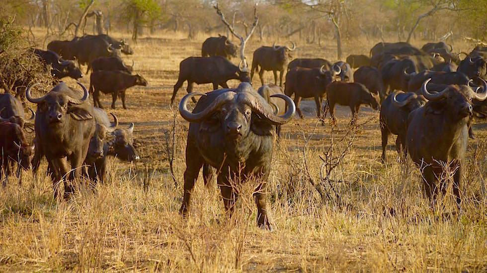 Wasserbüffel - Serengeti National Park - Tanzania