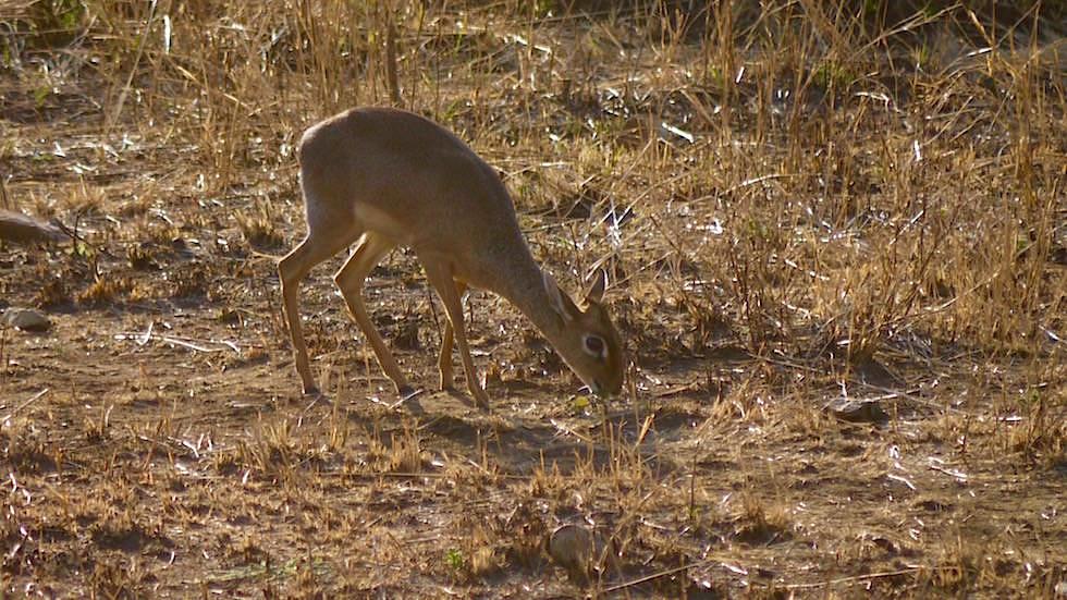 Kirk-Dikdik - Serengeti National Park - Tanzania